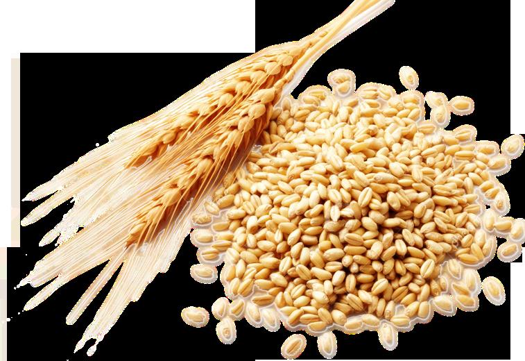 Extracto de trigo