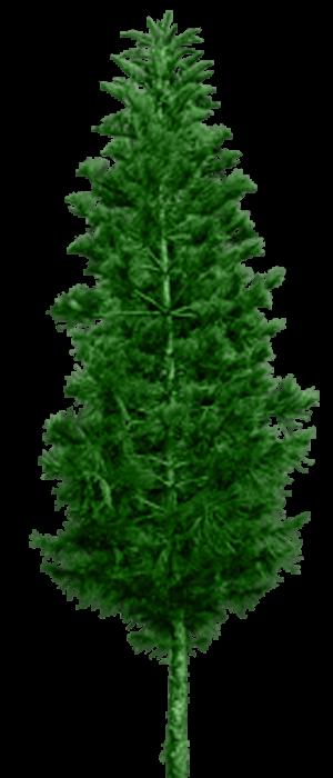 Pino Verde